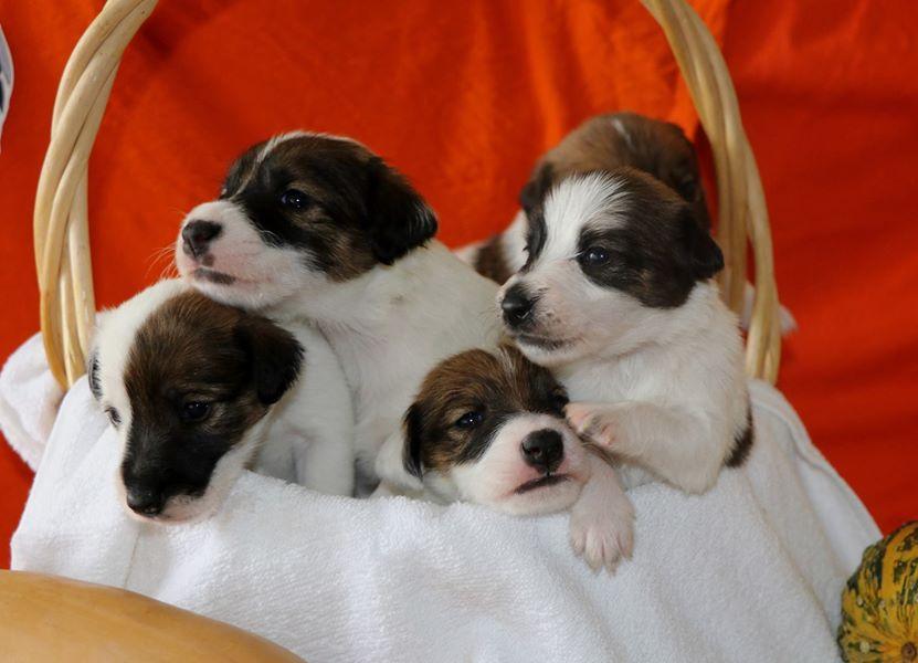 Chiot Fox terrier : 0  mâle - femelles 5 239630