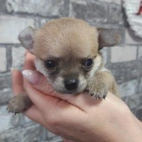 femelle miniature