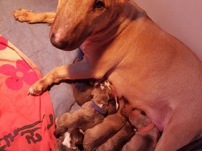 Chiot Bull Terrier Miniature : 2  mâles – femelles 5 243558