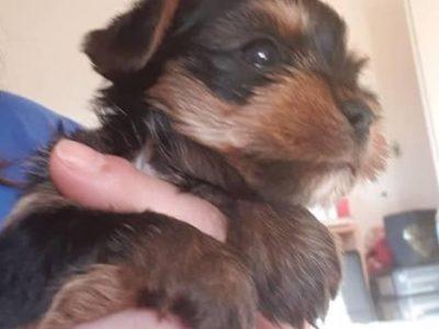 Chiot Yorkshire terrier : 3  mâles – femelle 1 242700