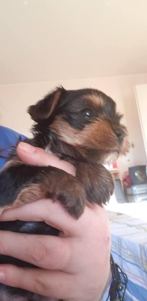 Chiot Yorkshire terrier : 3  mâles - femelle 1 242700