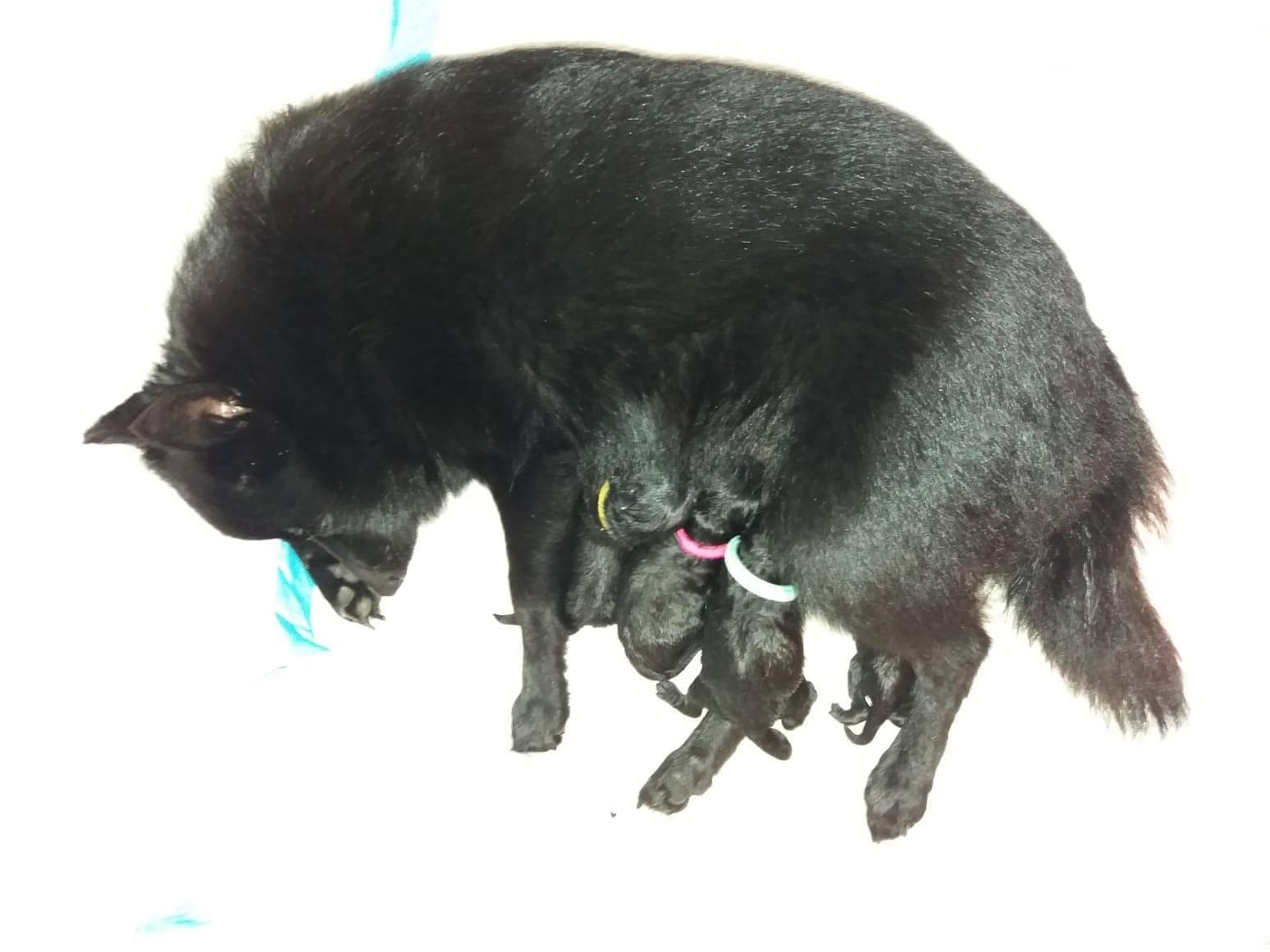 Chiot Schipperke : 3  mâles - femelle 1 243817