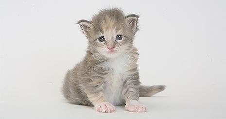 Les premiers vaccins du chaton