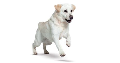 Calculs urinaires chez le chien : Peut-on les dissoudre grâce à l'alimentation ?