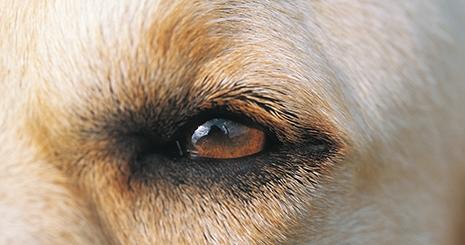Opération de la cataracte : elle est réalisée aussi chez le chien