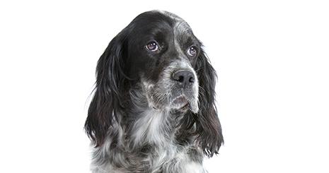 La douleur après une opération du chien : il existe des traitements efficaces