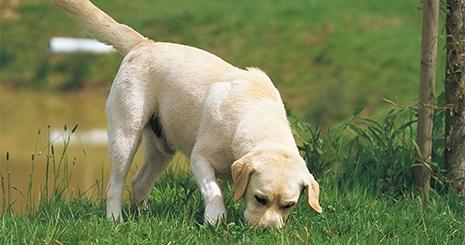 https://www.wikichien.fr/wp-content/uploads/sites/4/5723790c7c15b_chien-terrassier.jpg