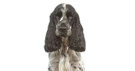 https://www.wikichien.fr/wp-content/uploads/sites/4/57271287685a7_la-cataracte-chez-le-chien-mature.jpg