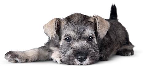 https://www.wikichien.fr/wp-content/uploads/sites/4/57271808b275f_protocole-antibiotique-chez-le-chien.jpg