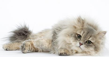 Prendre soin de son chat adulte et sénior