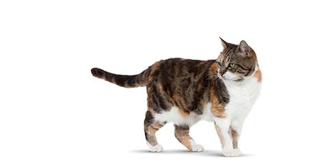 La maladie parodontale du chat