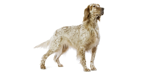 Le Labrador, graine de champion