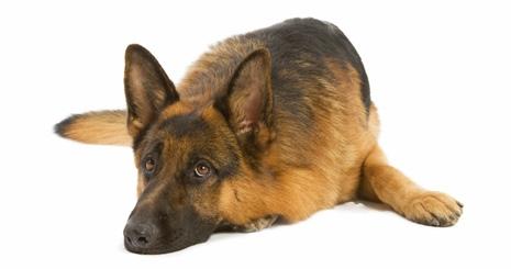 Le syndrome de dilatation-torsion de l'estomac (SDTE) chez le chien : une urgence absolue