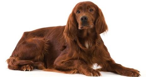 https://www.wikichien.fr/wp-content/uploads/sites/4/57e3f260ac636_comment-controler-reproduction-chien.jpg