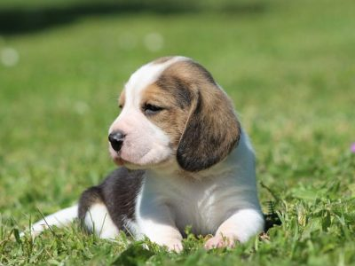 Chiot Beagle : 2  mâles – femelle 1 245738