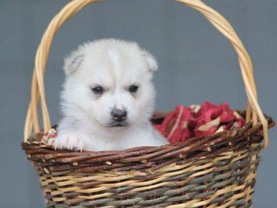 Chiot Siberian husky : 2  mâles – femelle 1 246702