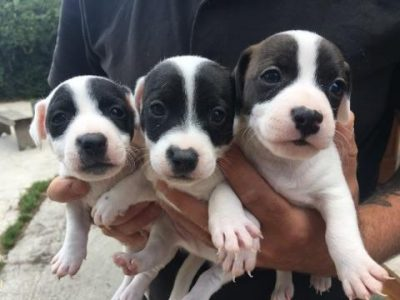 Chiot Jack russell terrier : 5  mâles – femelle 1 247007