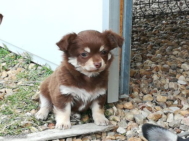 Chiot Chihuahua : 0  mâle - femelles 2 244473