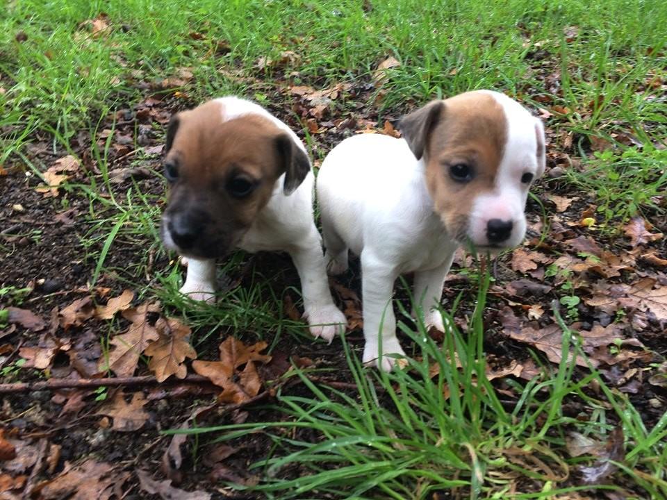 Chiot Jack russell terrier : 1  mâle - femelles 2 249454