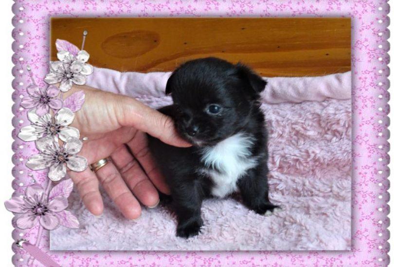 Plus disponible - Très jolie petite femelle noir plastron blanc poils longs