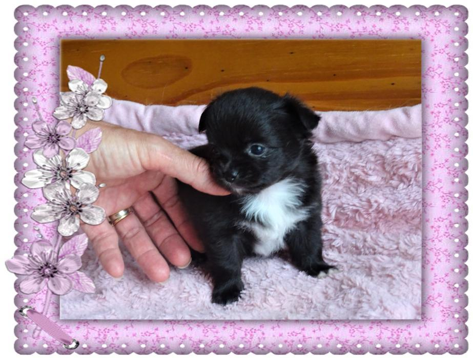 Chiot Chihuahua : 2  mâles - femelles 2 245210
