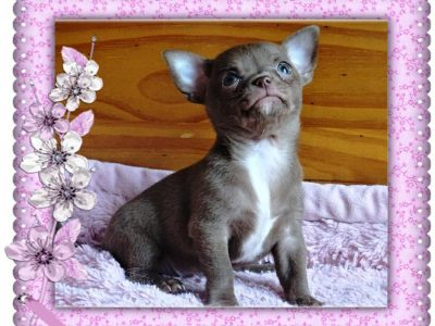 Chiot Chihuahua : 1  mâle – femelles 3 245209