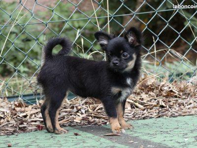 Chiot Chihuahua : 1  mâle – femelles 2 248142