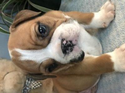 Chiot Bulldog : 1  mâle – femelle 1 235753
