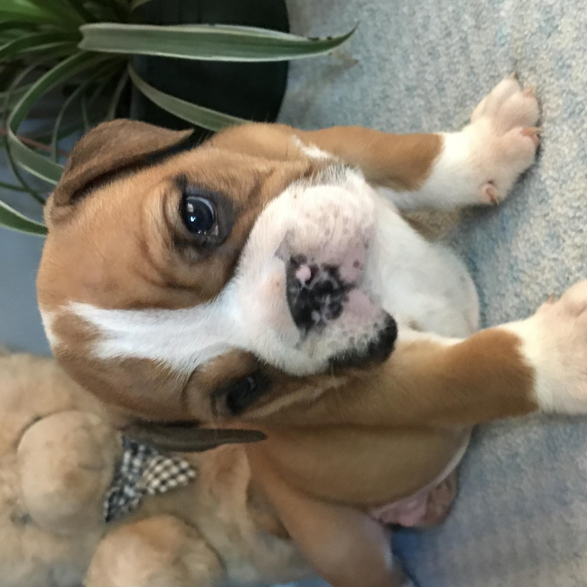 Chiot Bulldog : 1  mâle - femelle 1 235753