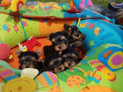 Chiot Yorkshire terrier : 1  mâle – femelles 4 247078