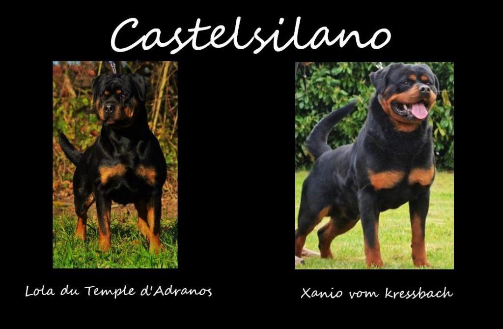 Chiot Rottweiler : 3  mâles – femelles 5 243489