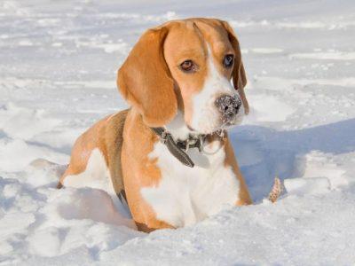 Alimentation du chien en hiver