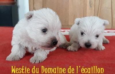 Chiot West highland white terrier : 2  mâles – 0  femelle 246107
