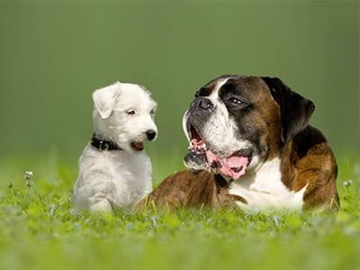 Apprendre au chiot à vivre avec les autres chiens