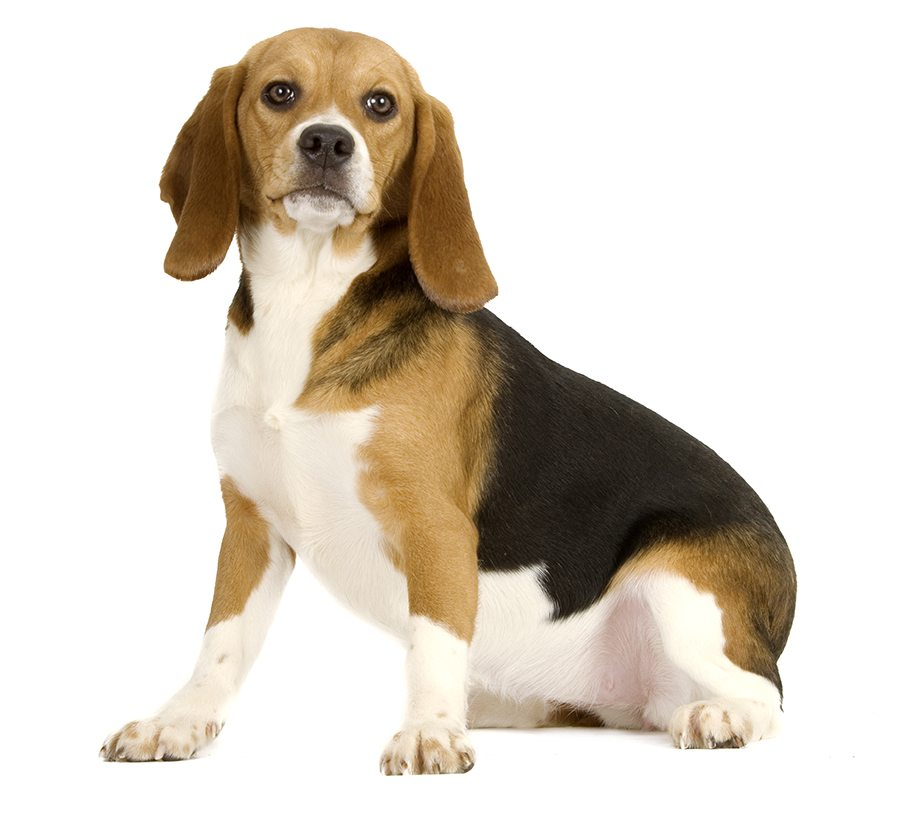 http://www.wikichien.fr/wp-content/uploads/sites/4/beagle-images-photos-animal-000007_1-0.jpg