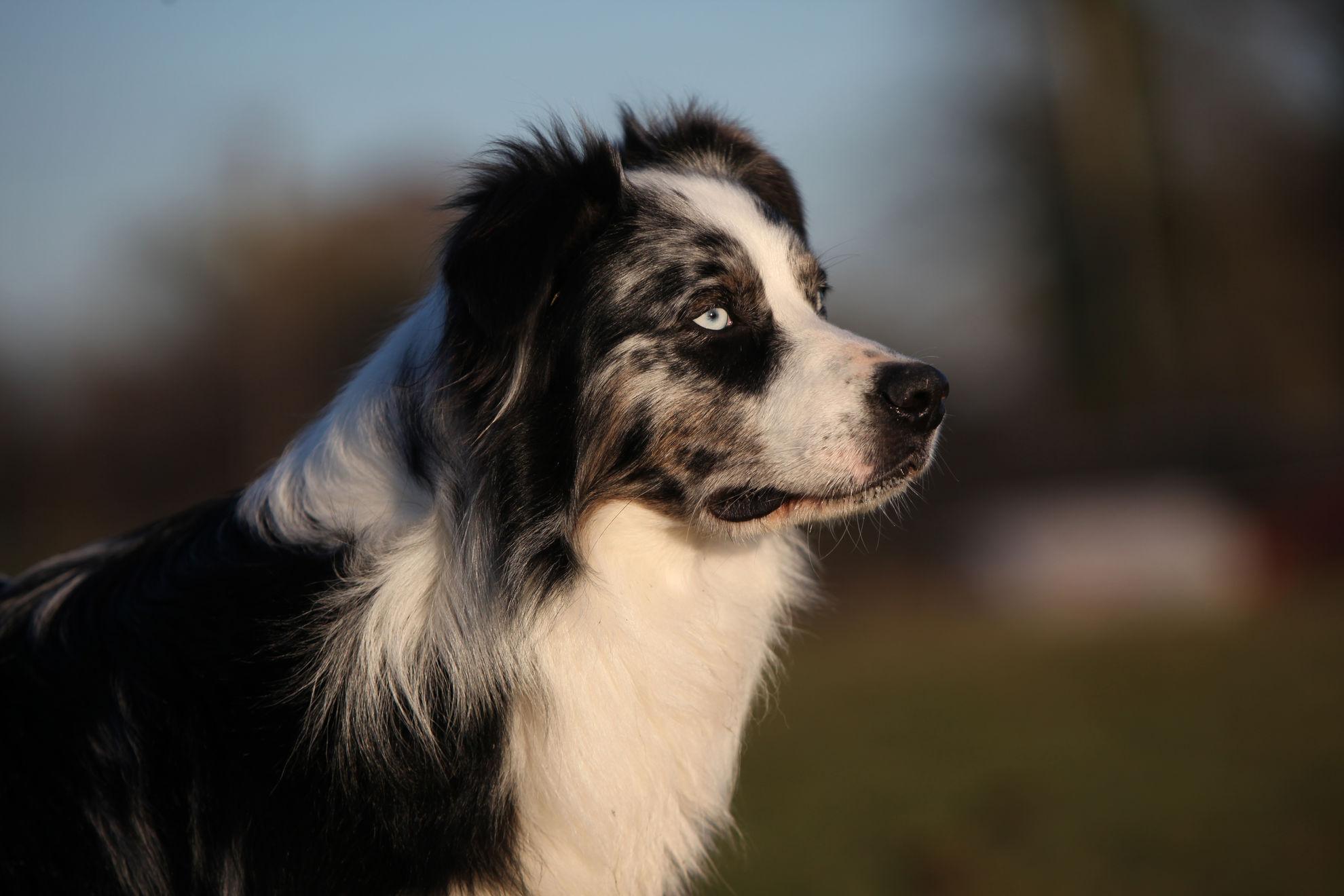 Les avantages de la stérilisation chez le chien