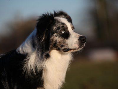 Comment se renouvelle le pelage de mon chien ?