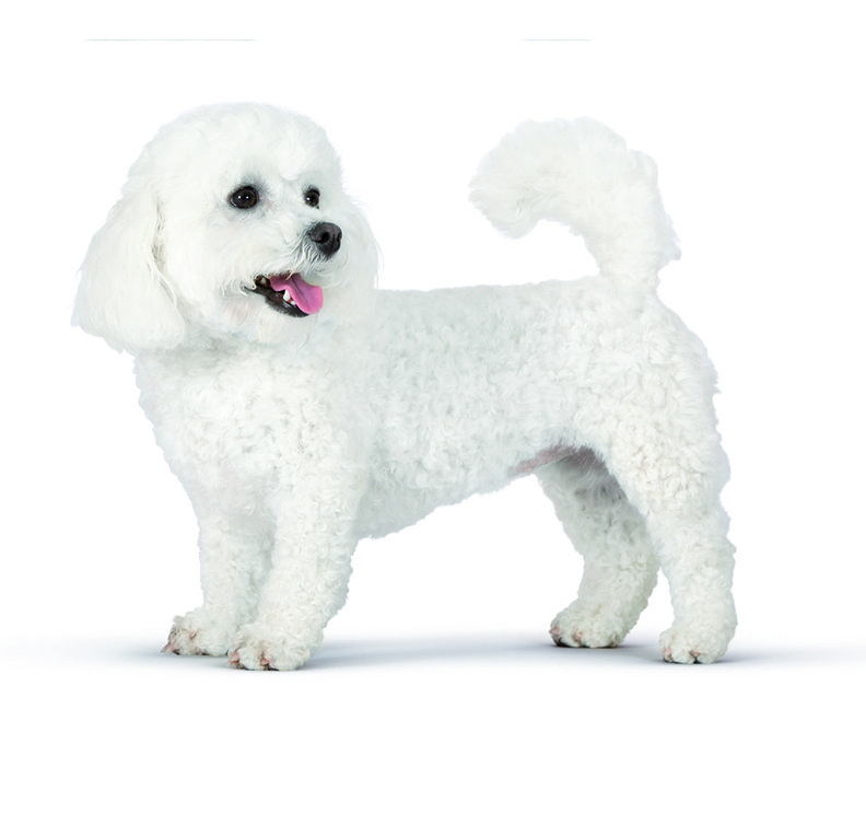 http://www.wikichien.fr/wp-content/uploads/sites/4/bichon-frise-images-photos-animal-000004_1-0_jpeg_72.jpg