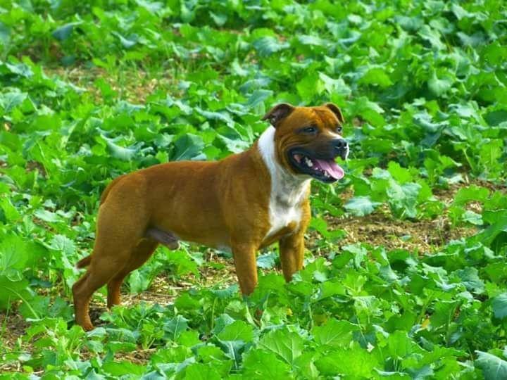 Chiot Staffordshire bull terrier : 1  mâle - femelles 3 246055
