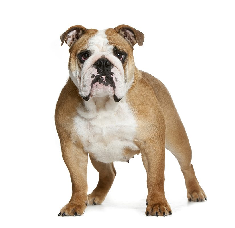 chien bulldog chien et chiot fiche de race du chien bulldog wikichien. Black Bedroom Furniture Sets. Home Design Ideas