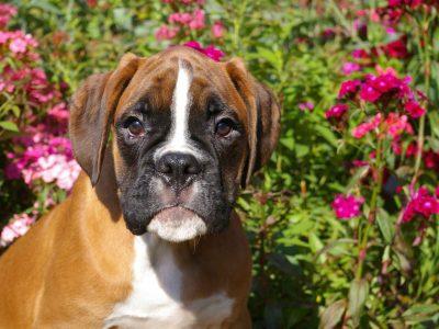 Chiot Boxer : 1  mâle – femelles 7 246205