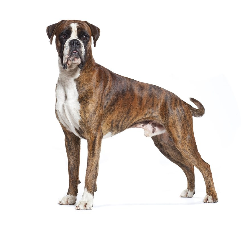 Morphologie du Boxer