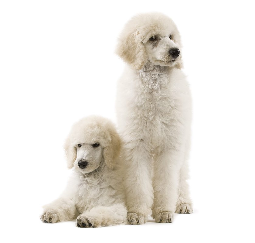 https://www.wikichien.fr/wp-content/uploads/sites/4/caniche-images-photos-animal-000055_1-000-1.jpg