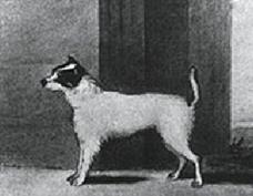 Histoire du Jack russell terrier