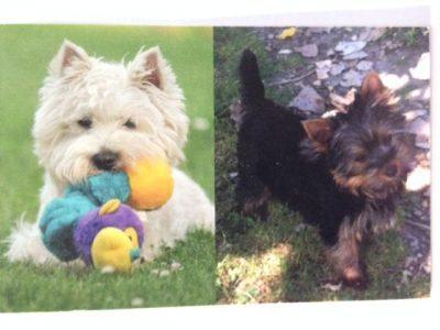 Chiot Yorkshire terrier : 1  mâle – femelles 3 246709