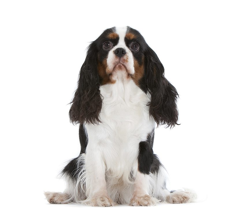 http://www.wikichien.fr/wp-content/uploads/sites/4/cavalier-king-charles-spaniel-images-photos-animal-000052_1-0.jpg