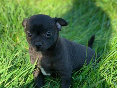 Chiot Chihuahua : 3  mâles – femelles 2 244355