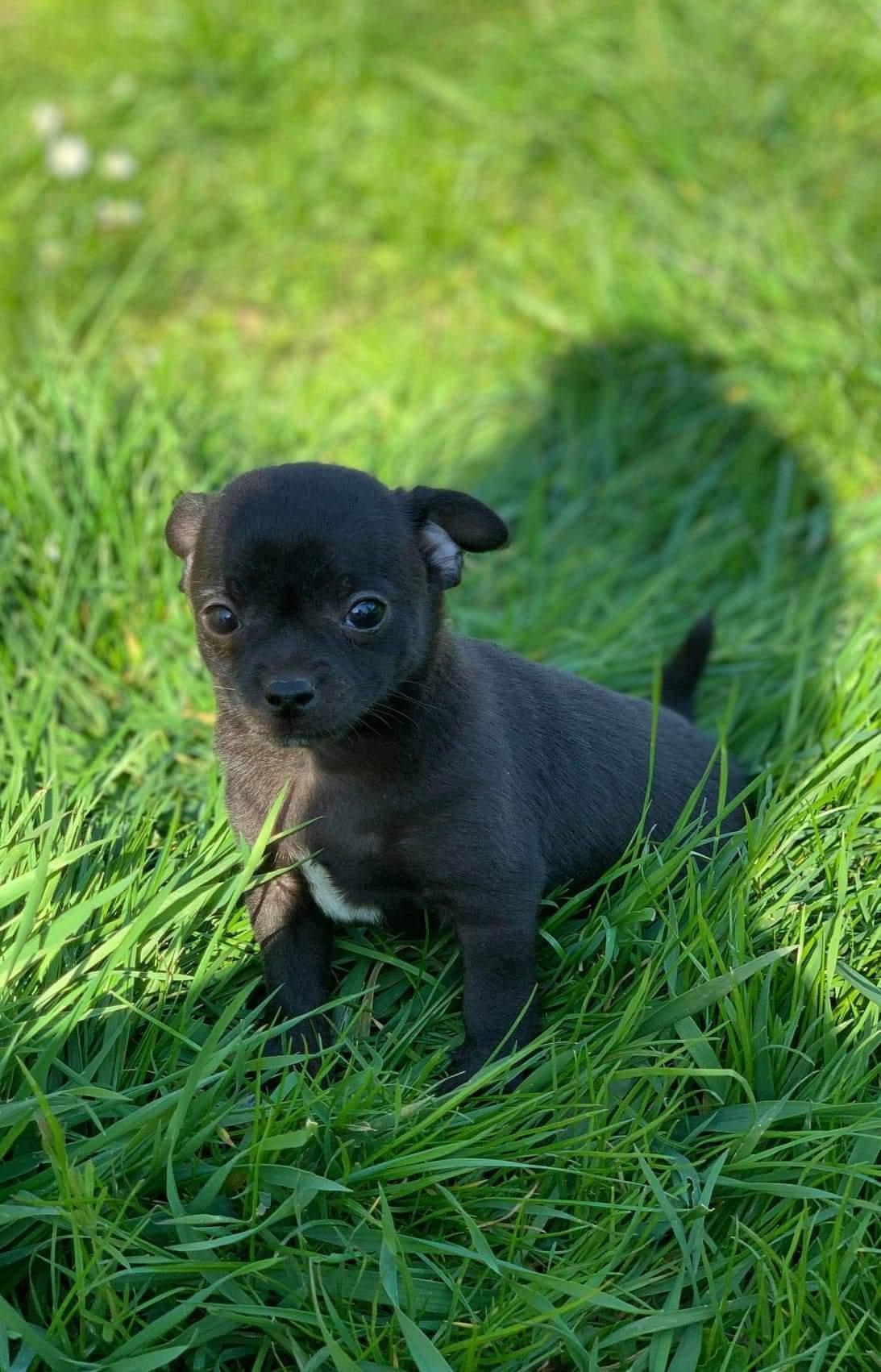 Chiot Chihuahua : 3  mâles - femelles 2 244355