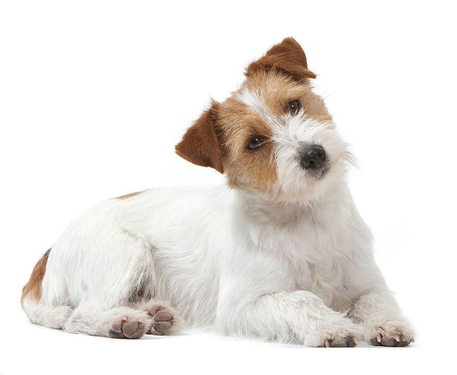 Morphologie du Jack russell terrier