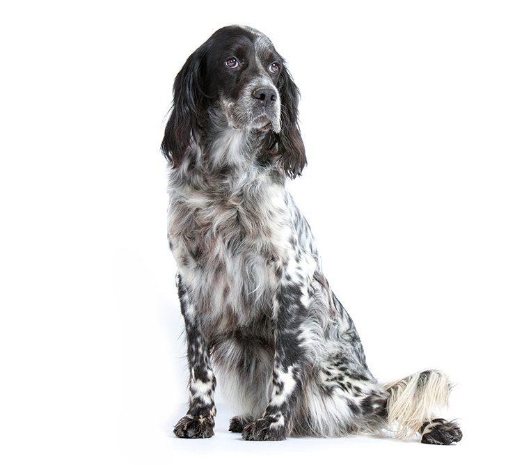 http://www.wikichien.fr/wp-content/uploads/sites/4/chien_de_race_setter-anglais.jpg